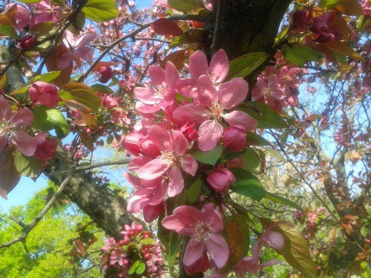 díszalmák tavasszal, a lombozat megjelenése előtt ontják virágtömegüket. Őszi termésük kevéssé ízletes, de ehető. A telt virágú almafák alig hoznak termést. http://kertlap.hu/diszalma/