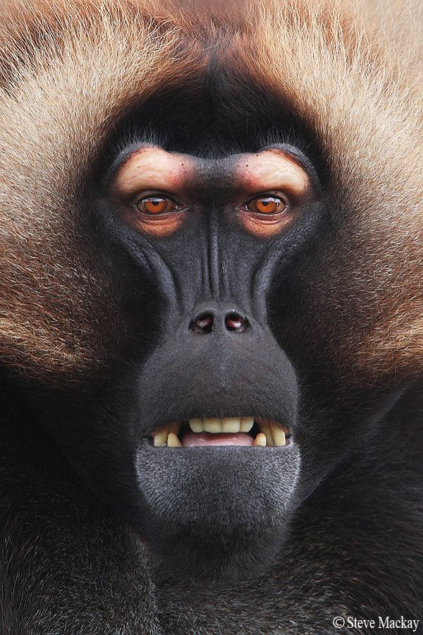 "Death stare by Steve Mackay via 500px. ""Another shot of my new Gelada Baboon friend, from Howletts Zoo, in Kent, UK. If looks could kill.........I wouldn't be here today, that's for sure!"""