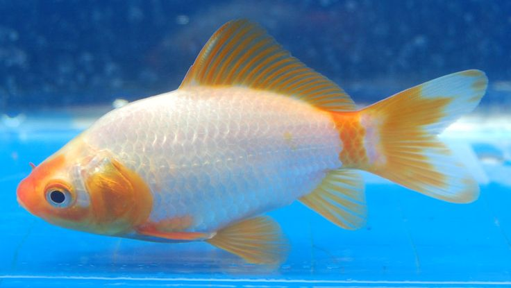 198 best images about my pond on pinterest pond snails for Comet pond fish