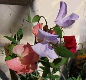 Imagens de flores Ervilhas-de-cheiro