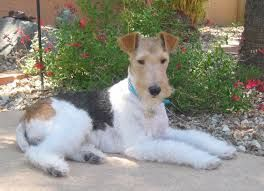 wire hair fox terriers