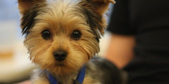 Yorkie Hair Styles: 17 Best Ideas About Yorkie Haircuts On Pinterest