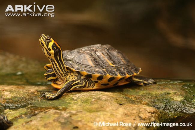 Yellow-bellied Slider (Trachemys scripta scripta) - basking on rock, this Yellow-bellied Slider shows the striking and distinctive markings that have made it so popular in the pet trade.