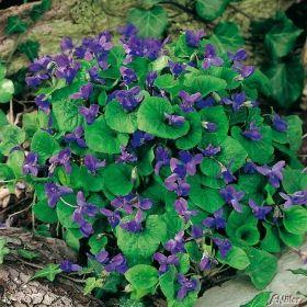 Cool Violettblaues Duftveilchen uK nigin Charlotte u g nstig online kaufen MEIN SCH NER GARTEN