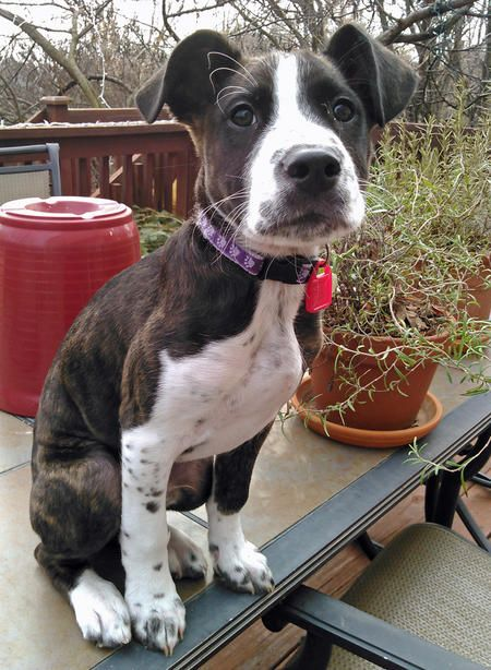 Milo the Boxer Mix -- Puppy Breed: Boxer / Labrador Retriever