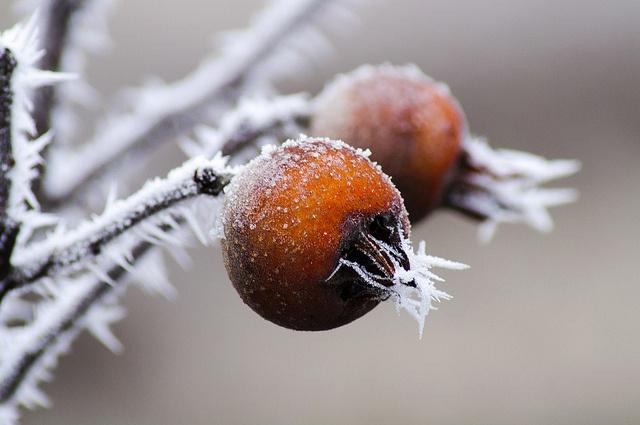 Mišpule jsou nejlepší právě, až přejdou mrazíky, to totiž jejich plody zhniličkovatí. Můžete si vzít lžičku a vyjídat dužninu ze slupky rovnou na zahradě čerstvě utržené.