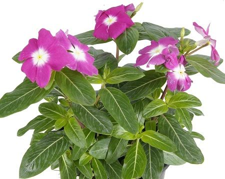 Vinca, Periwinkle, or Dwarf Periwinkle Myrtle (Catharanthus roseus)