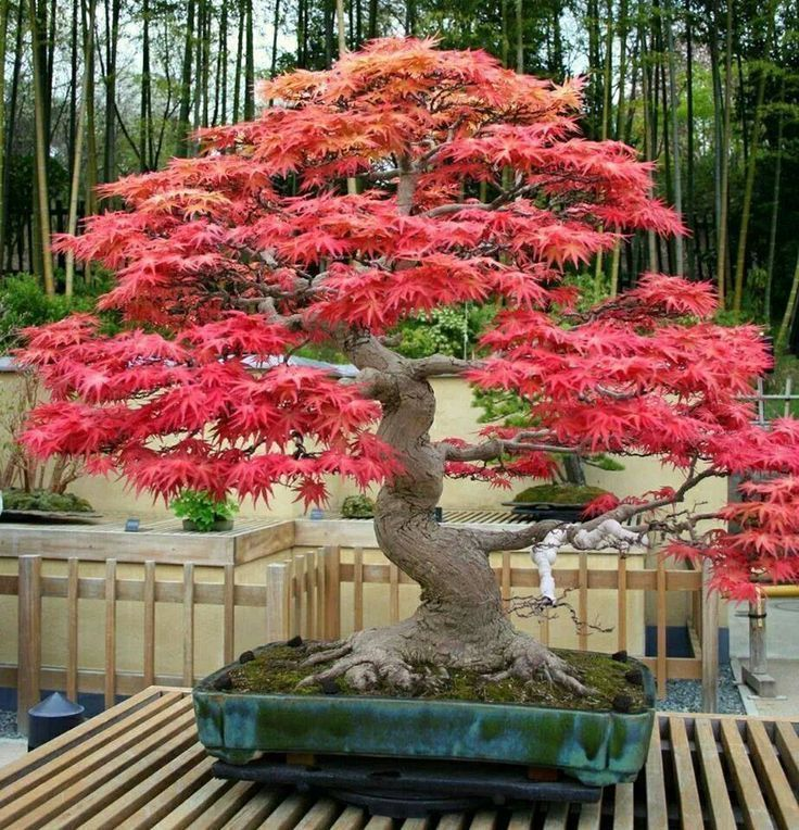 Red Maple Acer rubrum bonsai trees seeds not tree juniper elm pinus japanise