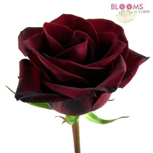 Wholesale Rose Black Magic Dark Red 60cm - Blooms by the Box