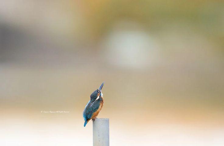 写真: 空を見上げるカワセミ。 Looking up.  繁殖、巣作りシーズンなので早く撮りに行きたいです... I wanna go to take a kingfisher. Because breeding,nest season right now...  #カワセミ #kingfisher #鳥 #birds #birdsgallery #wildlife #nature #canon