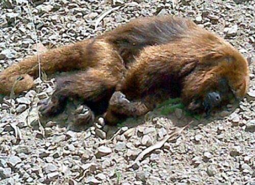 Pessoas ignorantes estão matando macacos sem nenhum motivo