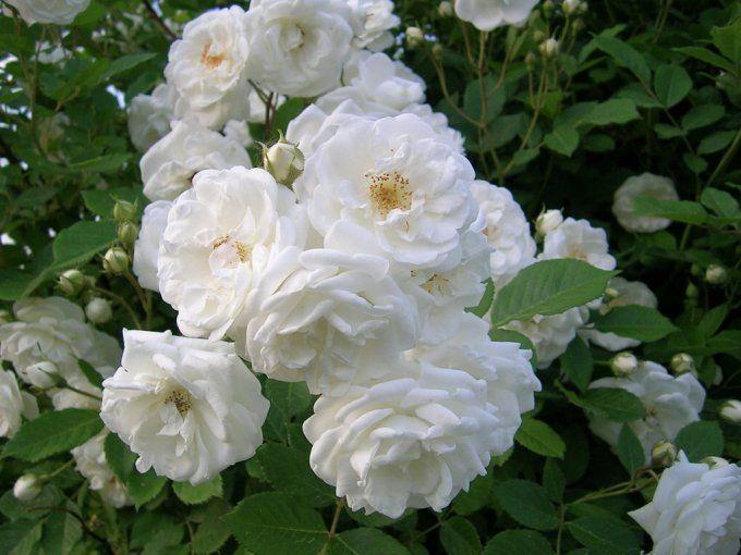 Bunga Mawar Taman Kuno Gambar Bunga Mawar Cantik Bunga