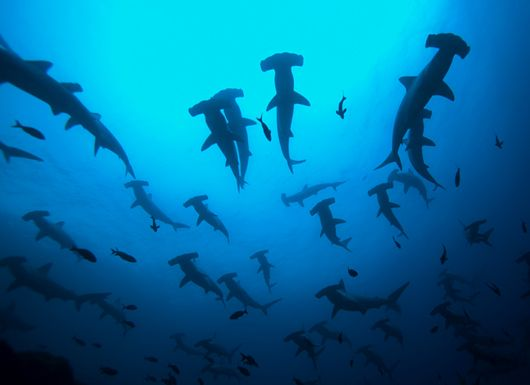 dive with hammerhead sharks and bus-size whale sharks at Galápagos Islands, Ecuador maybe once I become a better diver !