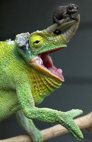 Un adulto de Jackson's Chameleon con un bebé aún no tiene edad suficiente para cambiar su color (Rick Stevens)