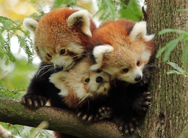 Ridiculously photogenic #red_panda family