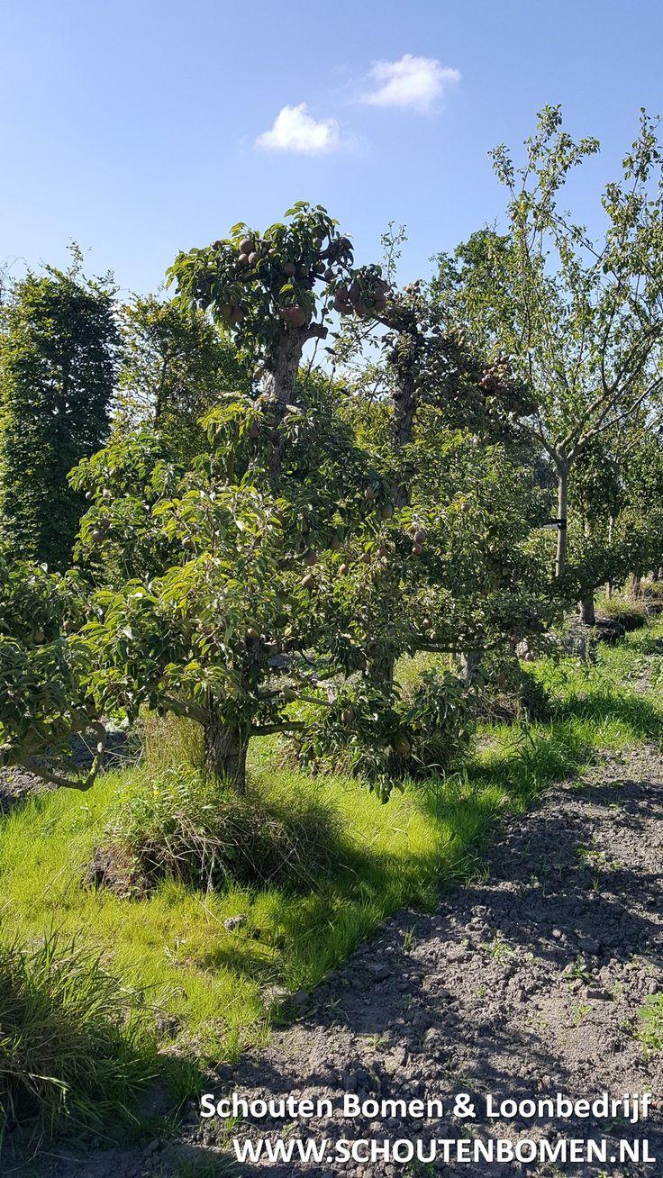 Voor karakteristieke oude fruitbomen, notenbomen en laan- en sierbomen bent u bij ons aan het goede adres! We hebben oa prachtige oude perenbomen beschikbaar!