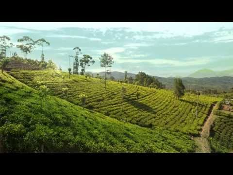 Dilmah Tea Estate - Clarendon