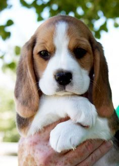 Adorable cute beagle puppy in hands