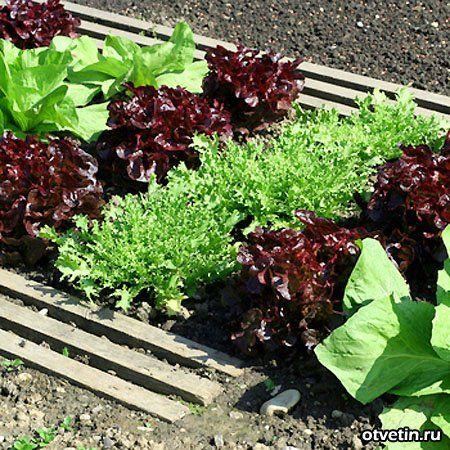 Как выращивать салат через рассаду