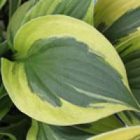 You couldn't have made a prettier pattern with a paint brush. This is the Twilight Hosta.