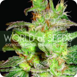 Northern Light X Big Bud - strain - World of Seeds | Cannapedia