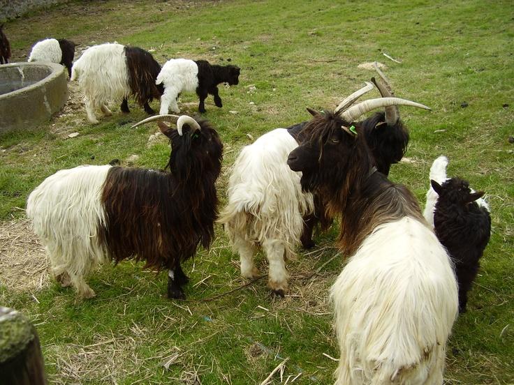 Wallische geiten