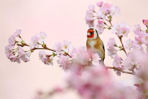A gorgeous Goldfinch Carduelis carduelis captured in the pinks of a spring blossom. The bird is waiting to use a nearby seed feeder. . @simonroyphotography is taking over our instagram to celebrate his column in the latest issue. . Check out his video with us in the link in our description! via Practical Photography on Instagram - #photographer #photography #photo #instapic #instagram #photofreak #photolover #nikon #canon #leica #hasselblad #polaroid #shutterbug #camera #dslr #visualarts…