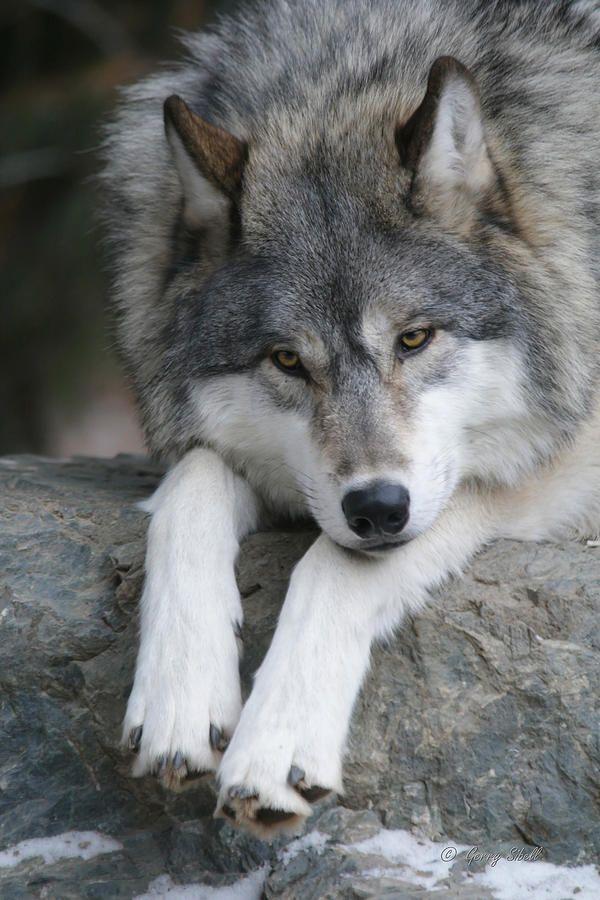 "bela vida selvagem: ""Contemplating by Gerry Sibell""   – Wölfe"
