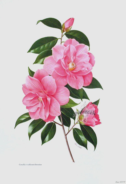 17 best images about camellia on pinterest vintage - Camelia fotos ...