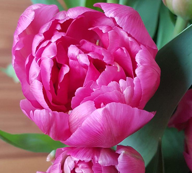Tulipaner i lange baner som strekker seg i alle retninger.