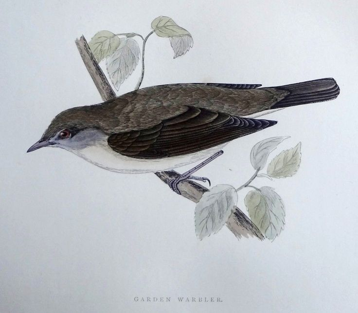 Morris Garden Warbler 1892 History of British Birds Woodblock Engraving #Vintage123yearsold