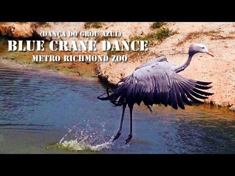 The Blue Crane is South Africa's National Bird. Pity this is in a Zoo in USA. Blue Crane Dance (Dança do Grou-Azul), Metro Richmond Zoo - YouTube