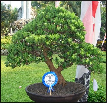 batangan-bonsai-lohansung
