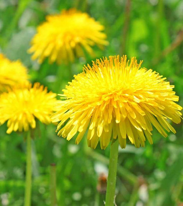 Dandelions Potential Benefits Dosage And Side Effects Dandelion Benefits Dandelion Dandelion Leaves
