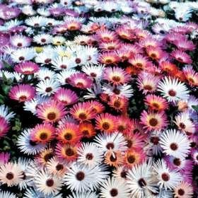 Mesembryanthemum Mixed Species - Vygies - Indigenous South African Suc | Seeds for Africa