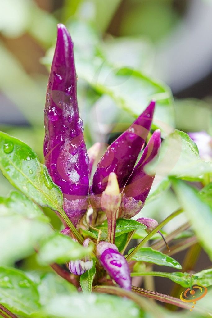 HOT! Cayenne PURPLE Pepper Seeds at $.99/pack | Grow Organic Peppers