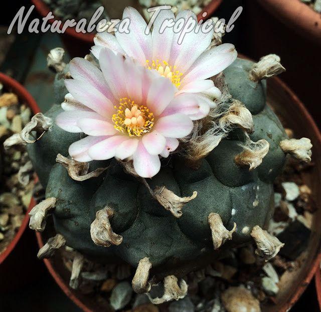 1- El cactus Obregonita, Obregonia denegrii  Obregonia denegrii es un cactus originario de México con un elevado valor ornamental por su aspecto y la belleza de sus flores. Su morfología recuerda mucho a los cactus del género Ariocarpus pero este, es la única especie del género Obregonia. Los bellos tubérculos que se disponen en el tallo y sus flores blanca-rosáceas hacen a esta especie uno de los cactus más demandados en el mercado. Su valor es bastante elevado en viveros especializados…