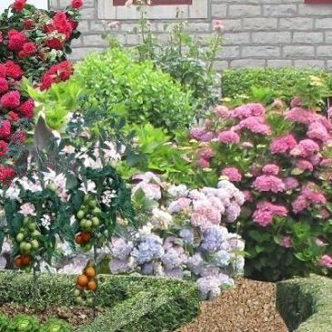 plan de jardin de curé  En fond se trouvent des hortensias, des cannas à feuilles rouges, une altéa bleue, des rosiers « Queen Élisabeth » et un opulent rosier polyantha « Alain »