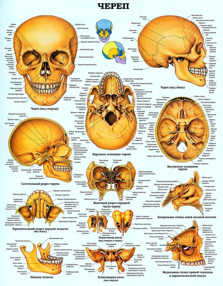 14 besten skin Bilder auf Pinterest | Anatomie, Menschliche anatomie ...