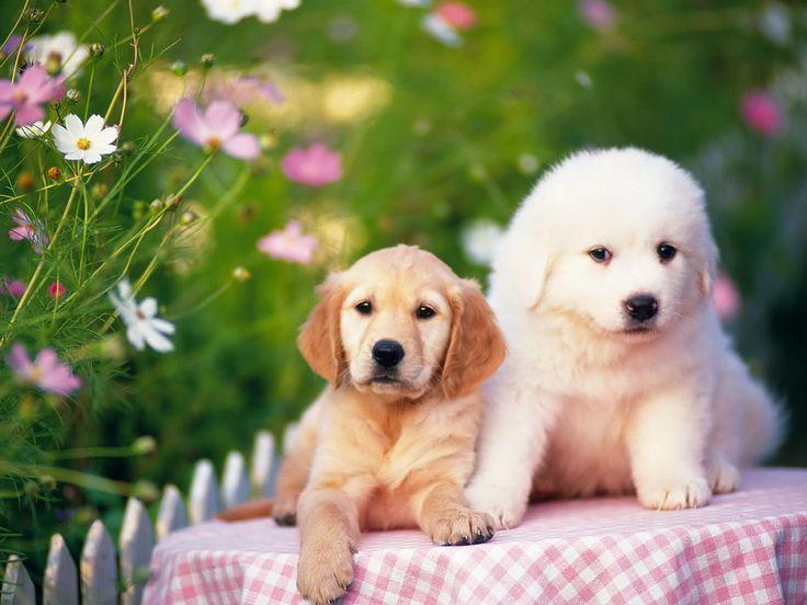 Trop mignons des couples de chiots fonds d 39 cran gratuits by unesourisetmoi chien mignon - Golden retriever gratuit ...
