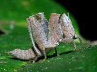 unidentified grasshopper (Cat Tien, Vietnam)