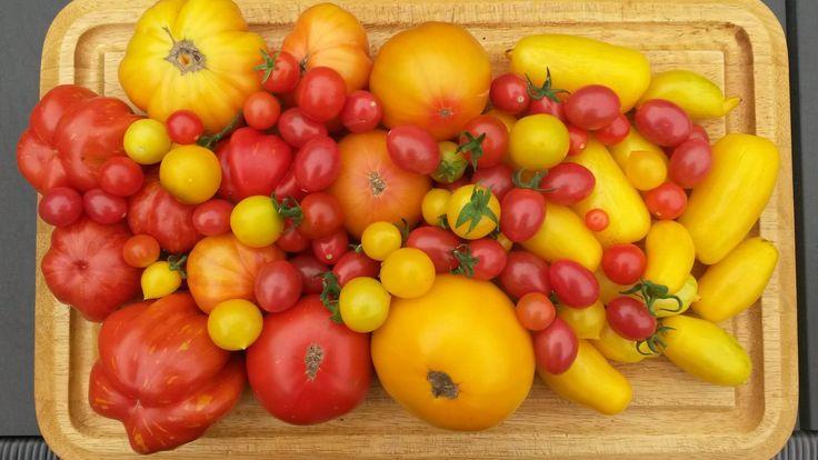 Tomater fra både drivhus og friland, som gror i vores lille byhave i Nykøbing F.