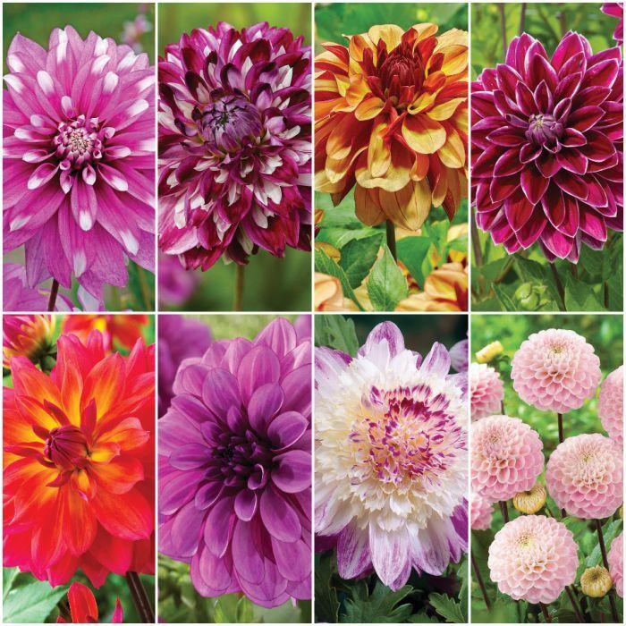 Die Hard Dahlia Collection 3 Dahlia Spring Bulbs Flower Bud