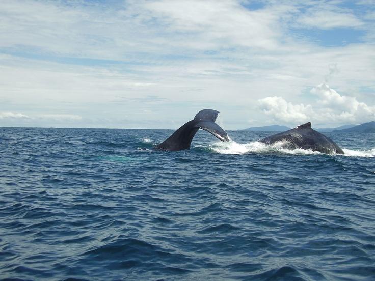 Septembre et Octobre sont des mois privilégiés dans le Pacifique Colombien pour pouvoir observer la naissance des baleineaux et la danse des baleines.