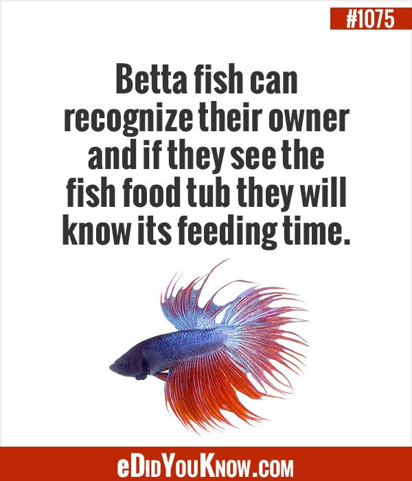 eDidYouKnow.com ►  Betta fish can recognize their owner and if they see the fish food tub they will know its feeding time.