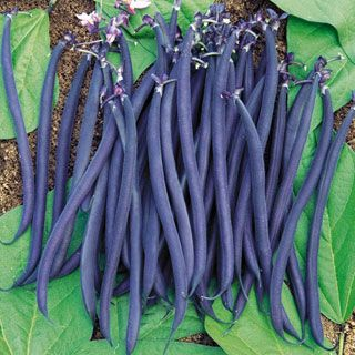 55 days from direct-sowing. The most exciting new gourmet bean of the season is this dramatic electric purple variety from France! Each long, slender pod is less than inch in diameter, yet is packed with succulent texture and delectable flavor. Certain to be the most exciting thing on the plate, Velour deserves top billing in your garden!These straight, slender pods reach 5 to 6 inches long, beautifully tapered and packed with nutritious seeds. The color is absolutely shocking -- a rich…