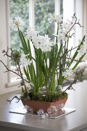 Narcissi Paperwhite 'Ziva' in a terracotta bowl : Classic Christmas House Plant or Table Centerpiece.