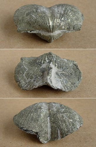 Brachiopods  Fossil Picture GalleryBrachiopods (BRACK-yo-pods) are an ancient line of shellfish, first appearing in the earliest Cambrian rocks, that once ruled the seafloors.