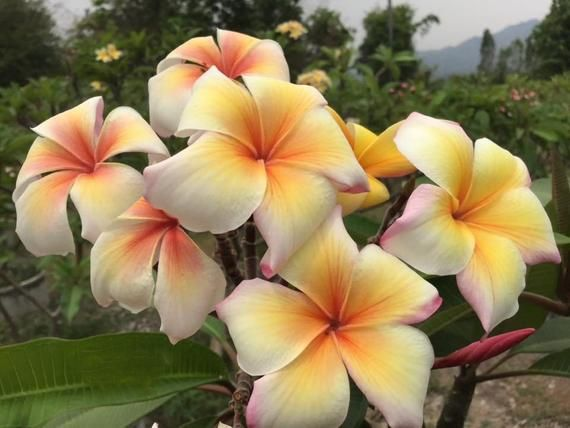 """25 Fresh """"AFTER GLOW"""" Plumeria Seeds New-Vibrant-Rare USA Grower & Seller-Ships Free"""