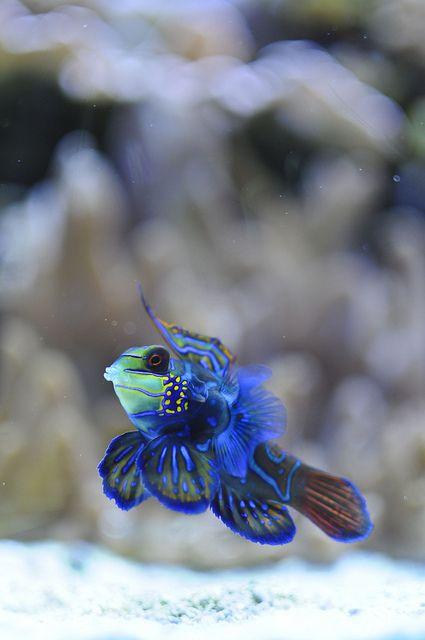 ☀A Mandarinfish by ray frances